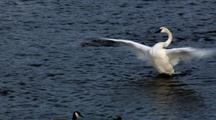 Trumpeter Swan Bathes In River,Runs In Place End Of Clip
