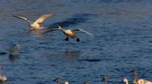 Trumpeter Swans Navigate River Landing