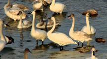 Trumpeter Swans Bob Necks On Riverbank