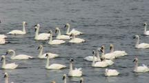 Trumpeter Swans Float In River