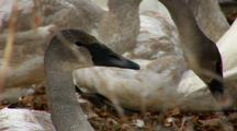 Cygnet Trumpeter Swan Head And Neck