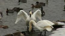 Trumpeter Swans Groom And Flap Wings