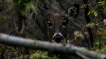 Whitetail Deer Stares And Chews
