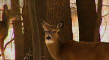 Whitetail Deer In Woods With Ears Back