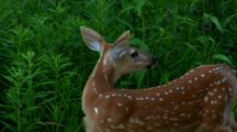 Whitetail Deer Spotted Back Of Fawn Contrasts With Lush Green Flora