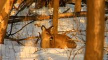 Whitetail Deer Lies Down In Snow, Basks In Sun