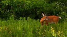 Whitetail Deer Doe Stands In Lush Green Flora