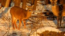 Whitetail Deer In Winter Woods