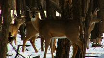 Whitetail Deer Walk By Standing Doe