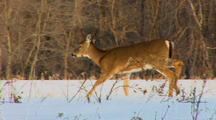 Whitetail Deer Treads Through Snow