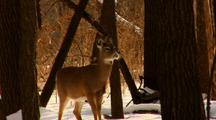Whitetail Deer Stands In Winter Woods With Cold Breath Visible