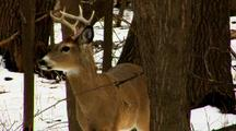 Whitetail Deer Buck Zoom In