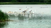 Pelicans Encroach On Great White Egrets
