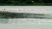 Pelicans Feed In Wetland Pond