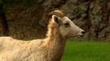 Bighorn Sheep Ewe Has Labored Breathing