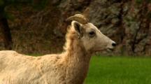 Bighorn Sheep Ewe Has Labored Breathing