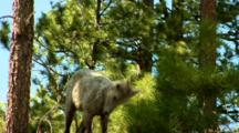 Bighorn Sheep Ewe Dips Head Twice Near Pines