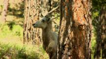 Bighorn Sheep Ewe In Forest