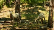 Two Bighorn Sheep Ewes Graze In Wooded Area