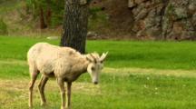 Bighorn Sheep Ewe Grazes And Looks Around