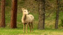 Bighorn Sheep Ewe Stands In Wooded Grassy Area