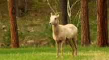 Bighorn Sheep Ewe With Labored Breathing