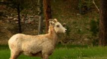 Zoom Reveals Bighorn Sheep Ewe With Labored Breathing