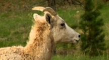 Bighorn Sheep Ewe With Labored Breathing, Shakes Head