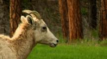 Bighorn Sheep Ewe With Labored Breathing