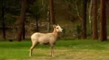 Full Body Profile Of Bighorn Sheep Ewe