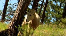 Bighorn Sheep Ewe Grazes On Tall Vegetation In Forest