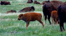 Full Body Standing Profile Of Bison Calf With Herd