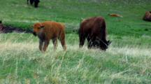 Bison Calf Wanders In Field