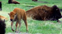 Bison Calf Wanders Through Field Toward Camera