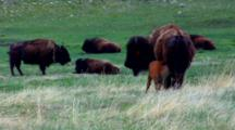 Bison Herd Rests,Calf Nurses