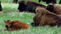 Bison Calf Looks Toward Camera And Licks Mouth