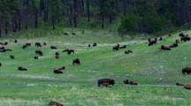 Bison Herd Graze, Rest, Calves Suckle