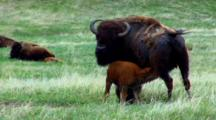 Bison Calf Nurses, Herd Moves