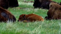 Bison Calf Rests With Herd