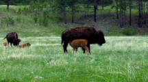 Zooms In On Bison Calf Nursing