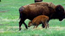 Bison Calf Nurses And Mother Kicks