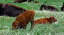 Bison Calf Circles And Lies Down In Field