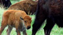Bison Calf Walks Toward Adult