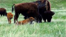 Bison Calves And Adults Graze