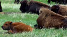 Bison Calf Rests