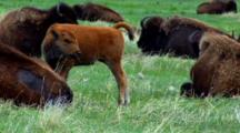 Bison Calf Stands Up, Stretches