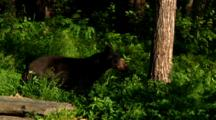 Black Bear Walks In Lush Green Area