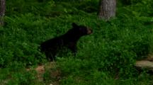 Black Bear Sits In Lush Green Forest