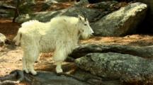 Mountain Goat Standing On Boulder Full Body Profile