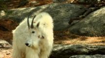Mountain Goat Observes Boulder Environment